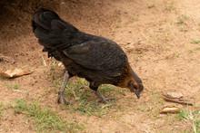 Hens Feeding On The Ground.