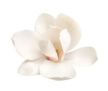 Tender White Magnolia Flower Isolated