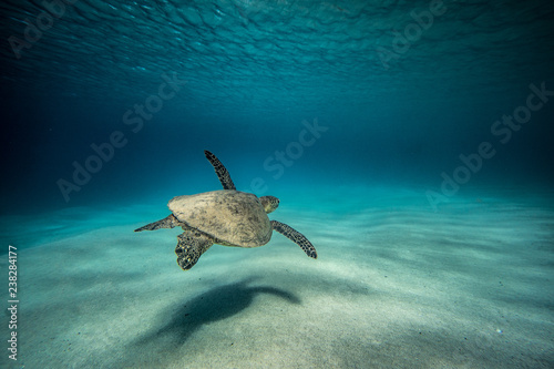 Poster Tortue turtle solitude