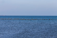 The Flock  Canadian  Geese (Branta Canadensis) On Lake Michigan.Near Wisconsin Lakeshore.