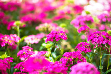 Beautiful Pink Verbena (verbenas Or Vervains ) Blooming With Warm Sunlight Background.