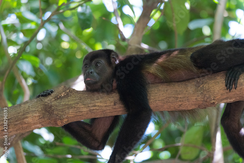 Foto op Aluminium Aap Black Howler monkey, genus Alouatta monotypic in subfamily Alouattinae, one of the largest of New World monkeys, rests on a branch in his habitat rain forest.