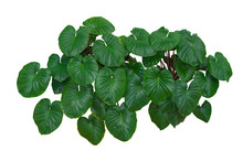 Tropical Green Leaves Foliage, Jungle Plant Bushes Isolated On White Background With Clipping Path Included.