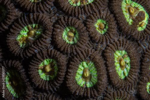 Detail of Favia sp. Coral Polyps in Raja Ampat