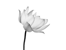 Lotus Flower Black And White Color Isolated On White Background. File Contains With Clipping Path.