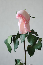 Faded Rose Tilted Her Head In The Vase.