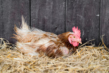 Hen On Straw