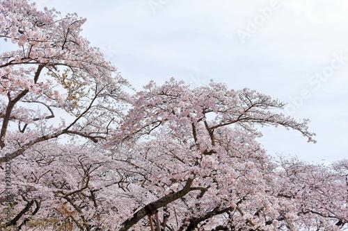 Foto  満開のソメイヨシノ