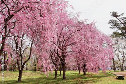 Foto  満開の枝垂桜