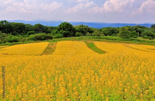 Foto  満開の菜の花
