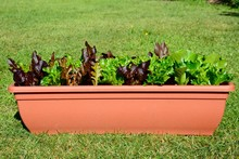 Young Lettuce Leaves Growing In A Rectangular Pot On The Lawn.