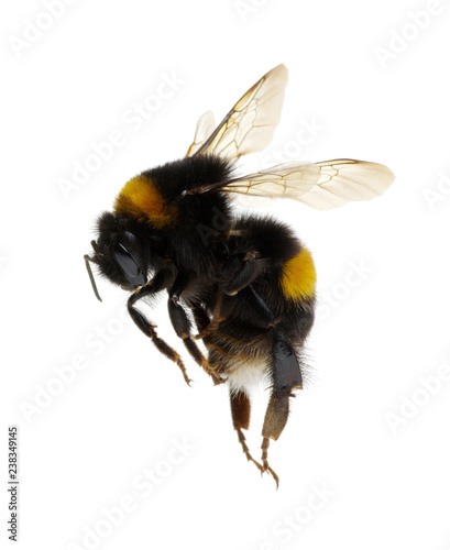bumblebee isolated on the white Fototapeta