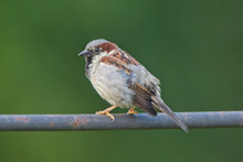 House Sparrow, (Passer Domesti...