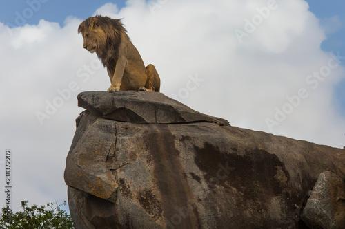 Lions of the Serengeti Wallpaper Mural