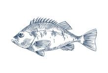 Bass Seafood Vector Monochrome...