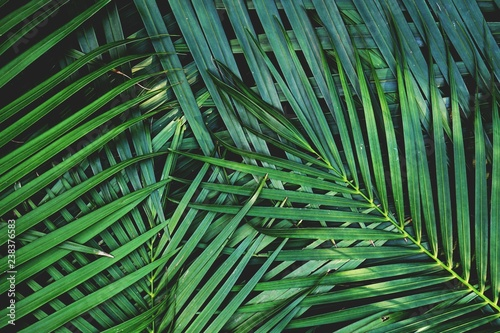 Canvas Prints Palm tree Dark green palm leaf texture background, tropical jungle tone concept
