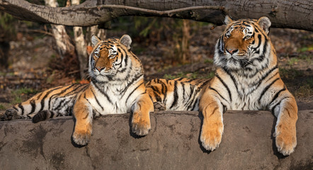 Pair of Siberian tiger (Panthera tigris altaica)