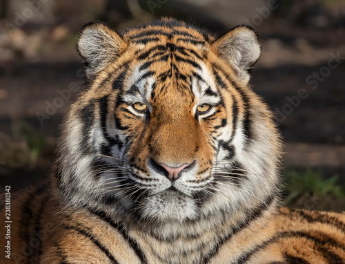 Head of a Siberian tiger (Panthera tigris altaica)