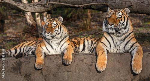 Fototapeta premium Para tygrysa syberyjskiego (Panthera tigris altaica)