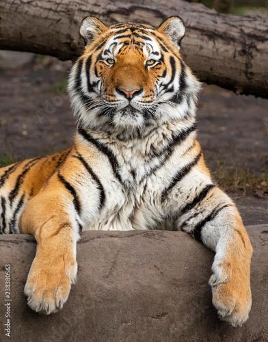 Fototapeta premium Zamknij się widok zrelaksowanego tygrysa syberyjskiego (Panthera tigris altaica)