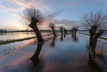 Pollarded Willows On A Flooded...