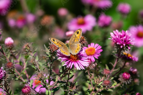 Fotografie, Obraz  Wall Brown Butterfly on New England Aster Flowers