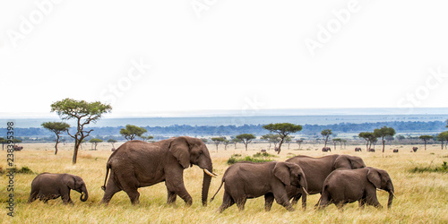Fotografia, Obraz Elephant herd walking on the plains of the Masai Mara National Park in Kenya