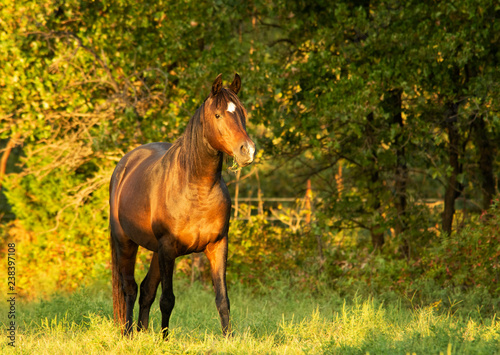 Pinturas sobre lienzo  Dark bay Arabian horse in late evening autumn sun