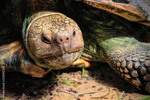 Fotografie, Obraz  Close up of Giant Tortoise