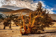 Bristlecone Pine With Clouds