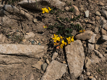 Yellow Gorse Flower Struggling To Survive In An Inhospitable Environment