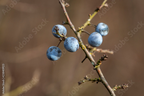 Many blue blackthorn Prunus spinosa or sloe berries on the old branch on the nice bokeh Tapéta, Fotótapéta