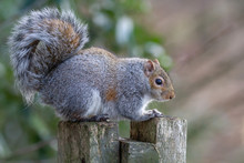 Grey Squirrel Sitting On Post