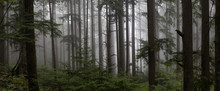 Gloomy Dark Forest During A Fo...