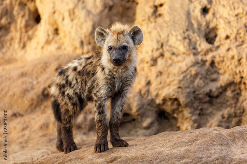 Deurstickers Hyena Hyena pup at the hyena den in the early morning in Sabi Sands Game Reserve in South Africa