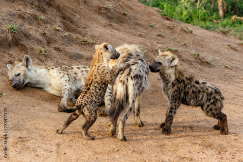 Poster Hyène Hyena pups playing near the hyena den in the early morning in Sabi Sands Game Reserve in South Africa