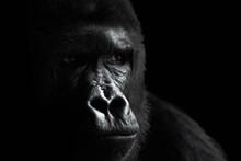 Male Of A Plain Gorilla, Portrait On A Black Background