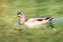 Duck Swims In The Water