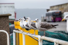 Seagulls Perched On The Railing Of A Fishing Port In Galicia