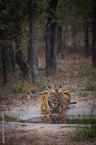 Fotografie, Obraz  A male tiger bamera son quenching his thrust in an evening at bandhavgarh tiger