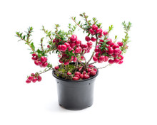 Evergreen Christmas Plant In P...