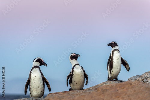 The African penguins in evening twilight, sunset sky. Scientific name: Spheniscus demersus, jackass penguin or black-footed penguin. Natural habitat. South Africa