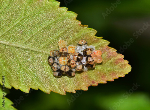 Newly hatched Dusky Shield bug nymphs on a tree leaf Canvas Print