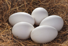 Fresh Goose Eggs In A Nest Of ...