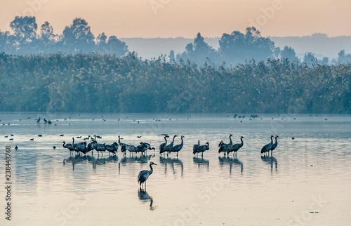 Naklejka premium Wspólne żurawie (Grus grus) stojące w wodzie. Żurawie gromadzą się nad jeziorem o wschodzie słońca. Mgła wczesnym rankiem. Rano krajobraz rezerwatu doliny Hula.