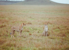 Two Cheetahs In A Field
