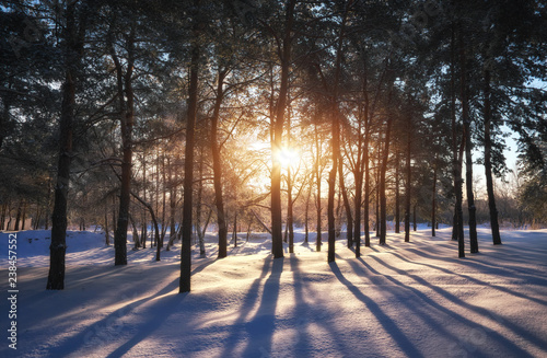Foto op Aluminium Nachtblauw Sunset in a winter forest. Landscape with a coniferous forest in beams of sunrise