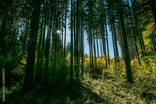 Fotografia  Bright autumn sunny day in a deep spruce tree woods, clear blue sky, sun shining