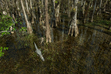 View Of Trees And Alligator In...