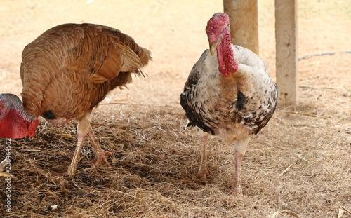 turkey in the zoo